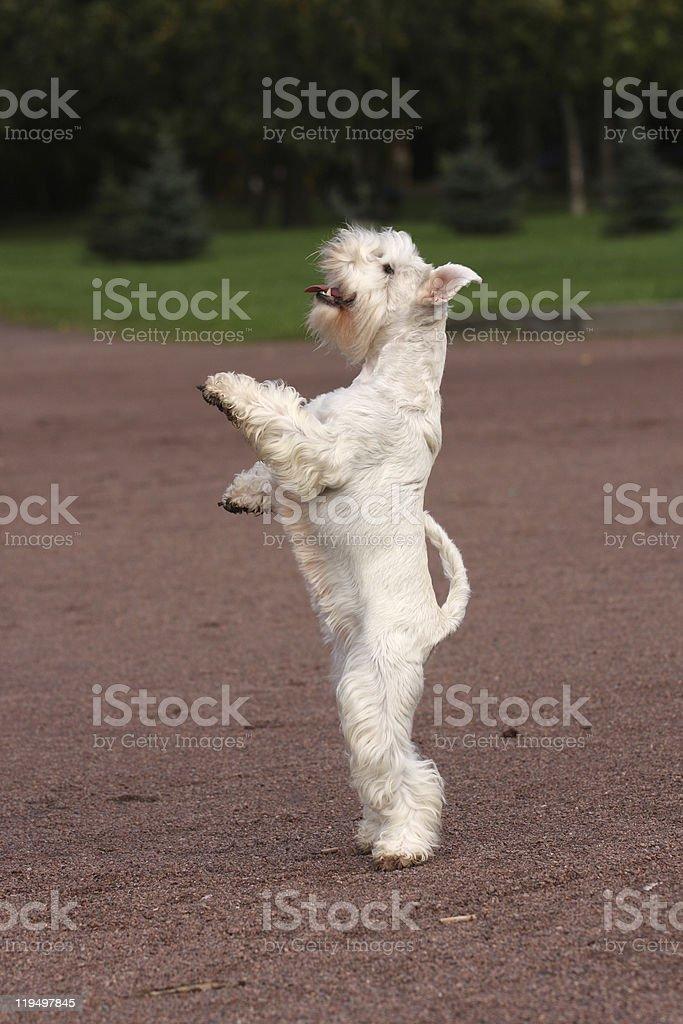 White dog staying royalty-free stock photo