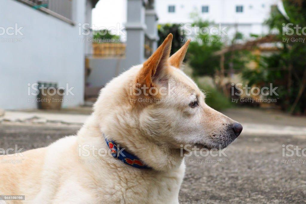 White dog - Thai - Mixed blood stock photo