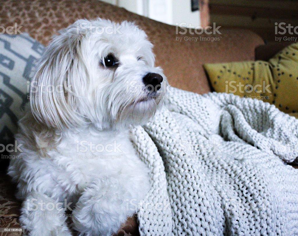 White dog watching TV stock photo