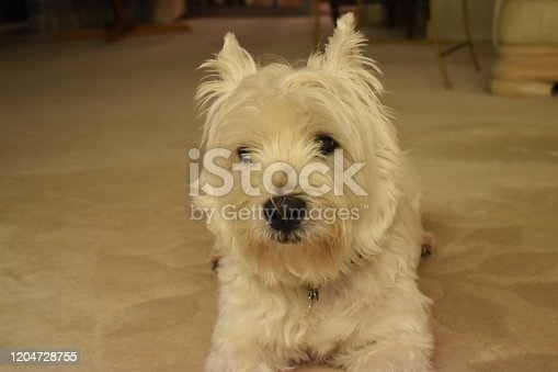 A white dog westie with cute face is borring and looking to other way. Beautiful West Highland White Terrier.