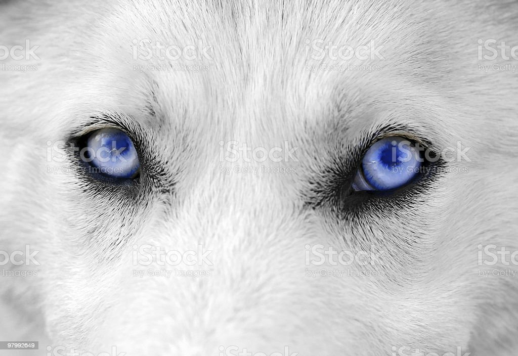 White dog with  blue eyes stock photo