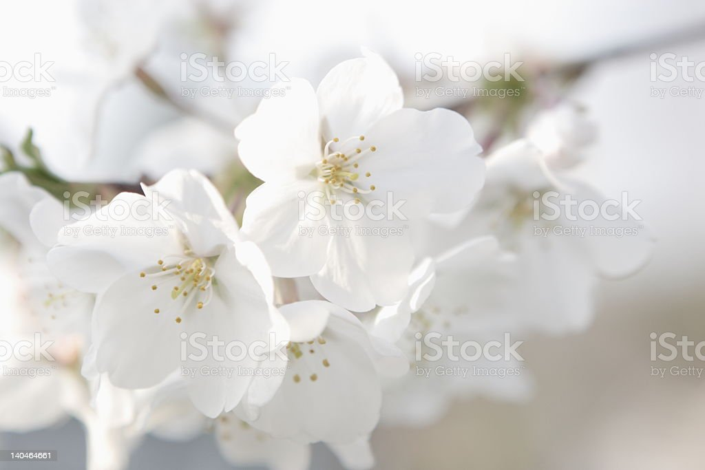 White dogwood flowers in bloom royalty-free stock photo