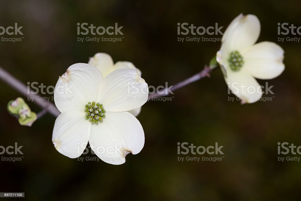White Dogwood Flowers Stock Photo Download Image Now Istock