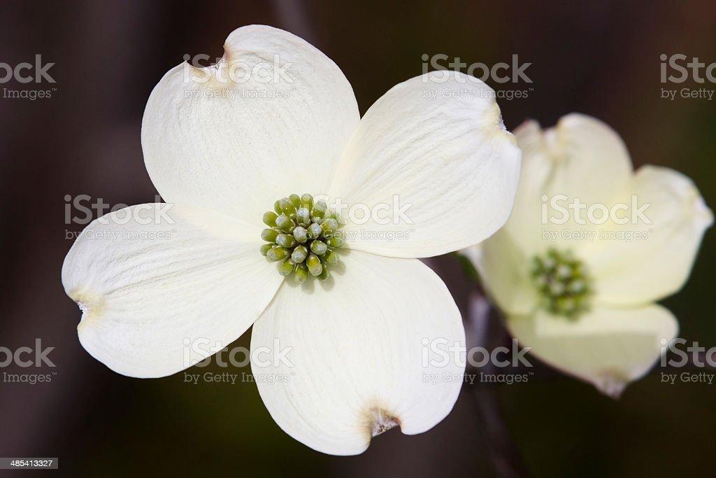 white dogwood stock photo