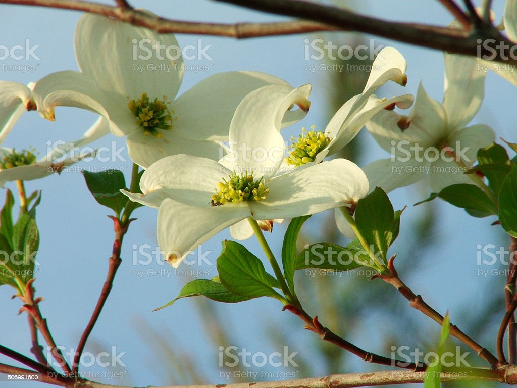 White Dogwood Tree Flowers Blooming Cornus Florida Stock Photo