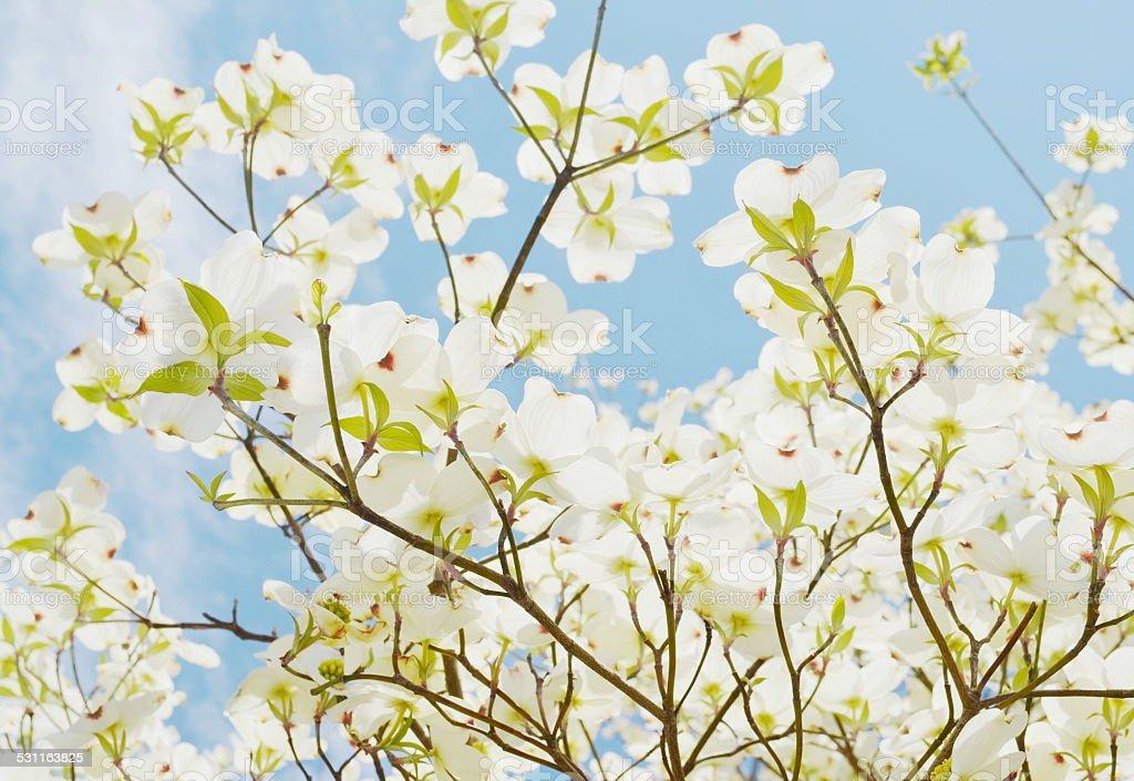 White dogwood tree stock photo