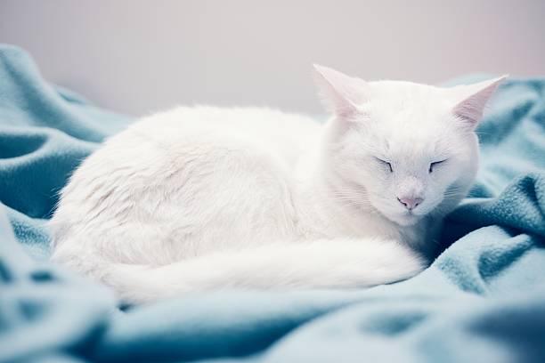 White Domestic Cat Taking a Nap stock photo