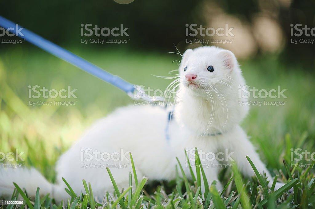 White domestic ferret taking a walk. stock photo