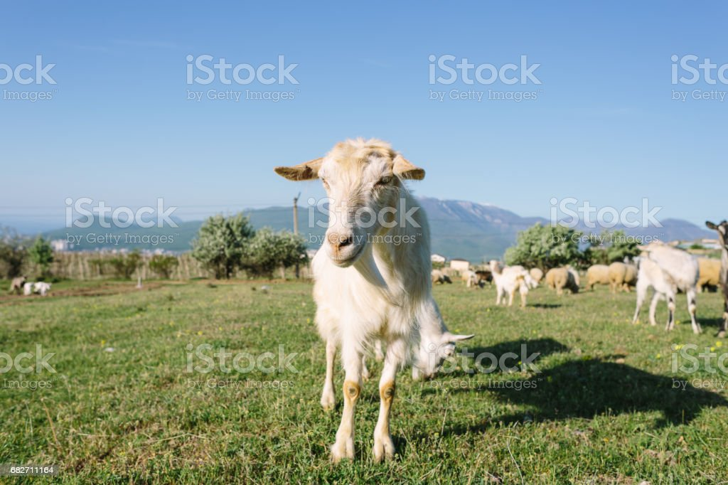 White Domestic Goat at Meadow stock photo