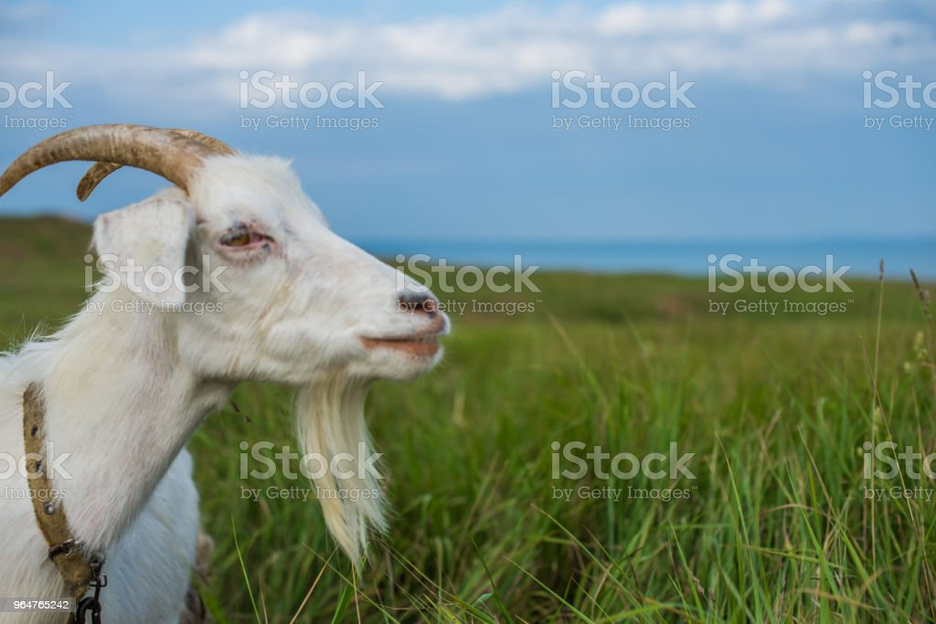 White domestic goat looking towards the sea. royalty-free stock photo