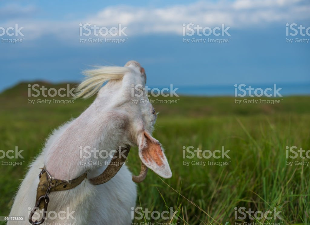 White domestic goat shows a neck royalty-free stock photo