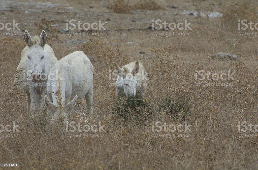 Bianco asini - foto stock