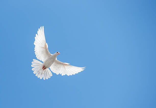white dove flying in the sky - symbols of peace stock pictures, royalty-free photos & images