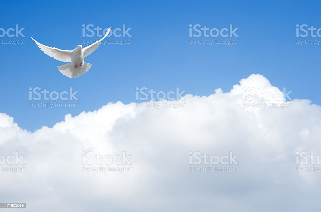White dove flying in the sky with outstretched wings stock photo
