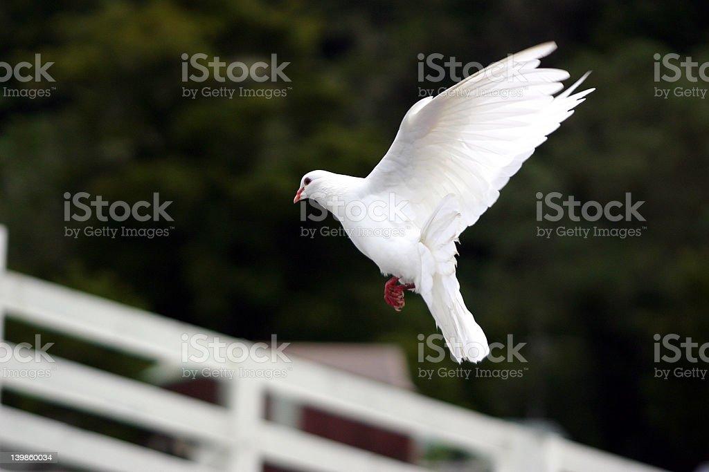 White Dove flying royalty-free stock photo