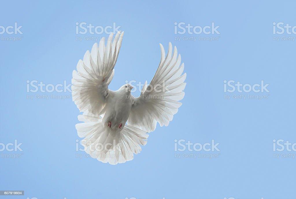 White dove flying stock photo