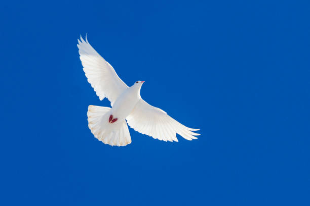 white dove flying through the blue sky white dove flying through the blue sky , wildlife and animals religious symbol stock pictures, royalty-free photos & images
