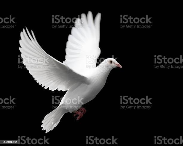 White dove in flight 1 picture id90358935?b=1&k=6&m=90358935&s=612x612&h=pse1hlcdnzpadifwnh lk4p5l7fuvbapagp2ir11tjy=