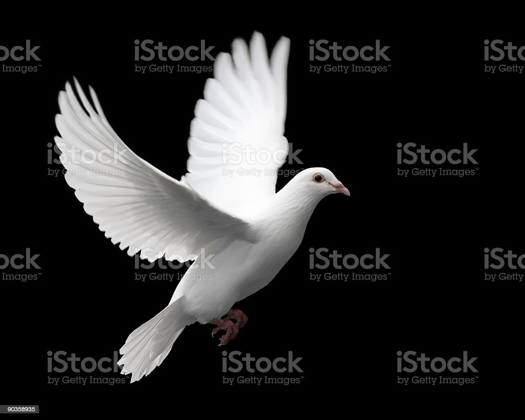 White Dove in Flight 1 stock photo