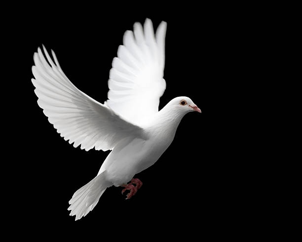 White Dove in Flight 1  pigeon stock pictures, royalty-free photos & images