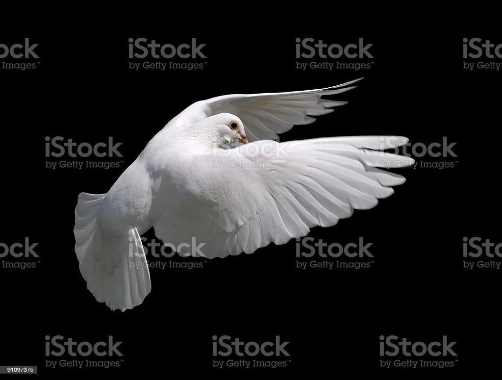 White Dove in Flight 10 stock photo