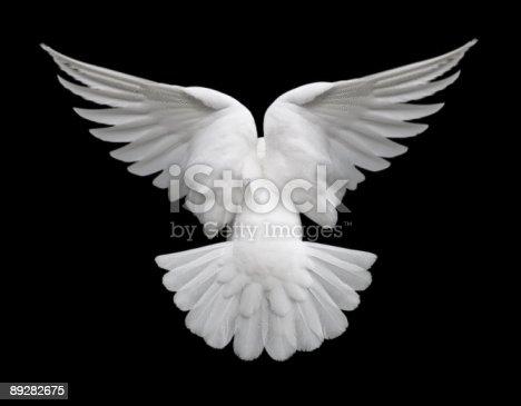 istock White Dove in Flight 2 89282675