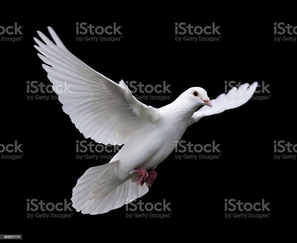 White Dove in Flight 7 stock photo