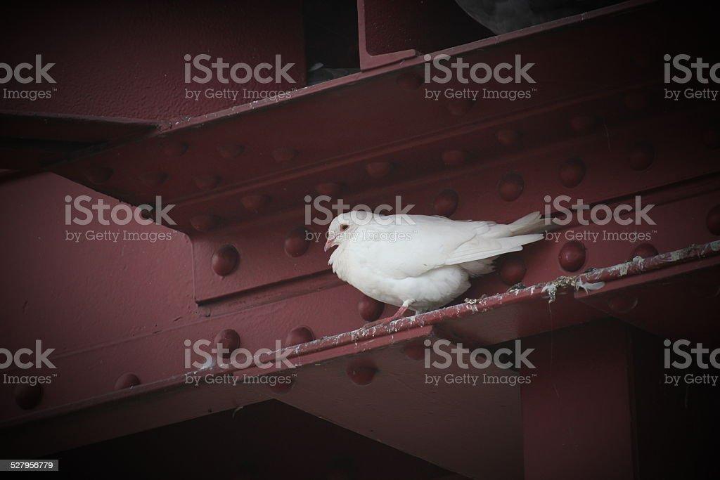White dove in gap stock photo