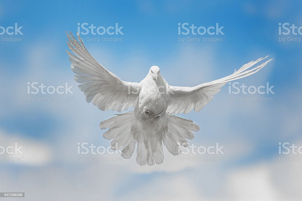 White dove is flying stock photo