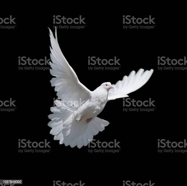 White dove isolated on black picture id1057545002?b=1&k=6&m=1057545002&s=612x612&h=kt 9tdichzg9jhdayzcsydr8iwavht2ljjznrobhlny=