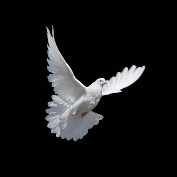 White dove isolated on black stock photo