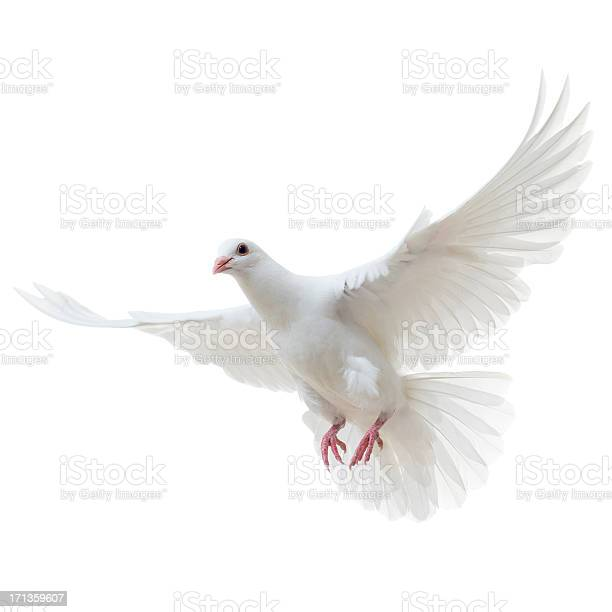 White dove isolated picture id171359607?b=1&k=6&m=171359607&s=612x612&h=8lgcrey589d46wuyjoe7arig1aa ivl2giw2odm5sos=