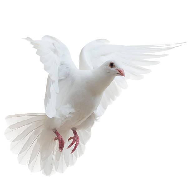 White Dove Isoliert – Foto