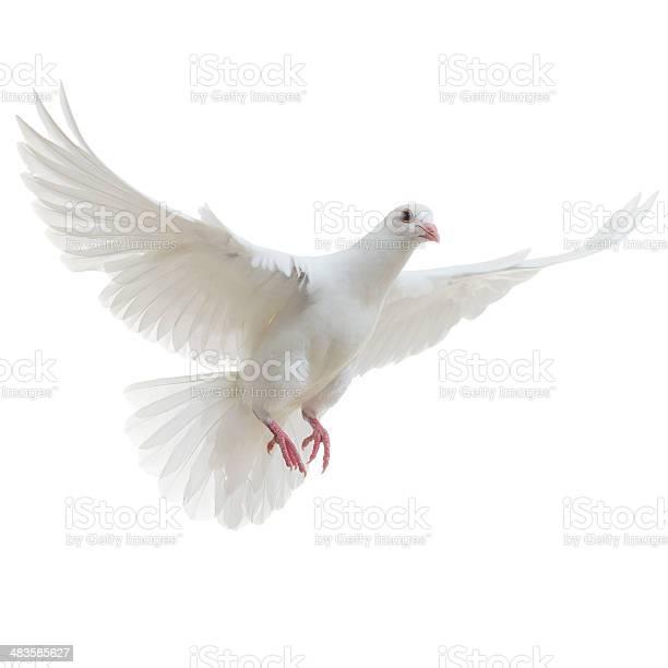 White dove isolated picture id483585627?b=1&k=6&m=483585627&s=612x612&h=wkbbixantldebkq n8lcjf9vt rc2ifspgl0sxbqxa4=