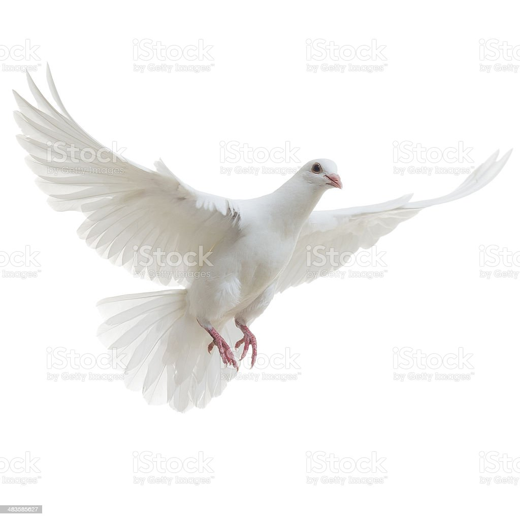 White Dove aislado - foto de stock