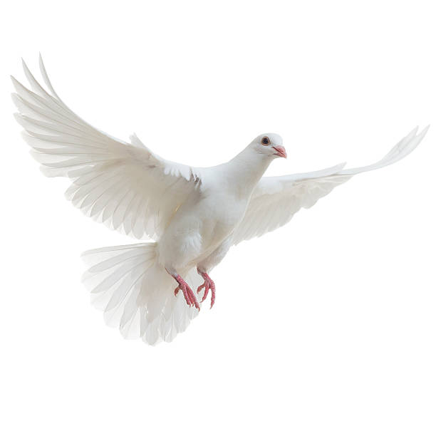 white dove isolated - vloog stockfoto's en -beelden