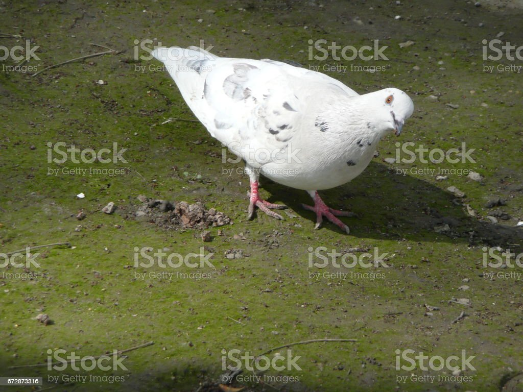White dove looks askance stock photo