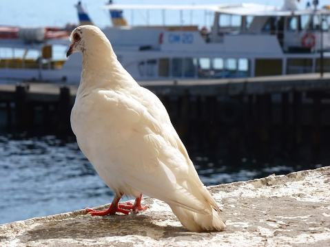 White dove on parapet on the background of sea and ship
