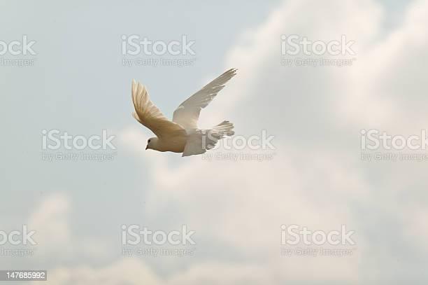 White dove picture id147685992?b=1&k=6&m=147685992&s=612x612&h=owdblz01t8pgkf1l3aftazyr7arcx3x3otslpexfw3a=