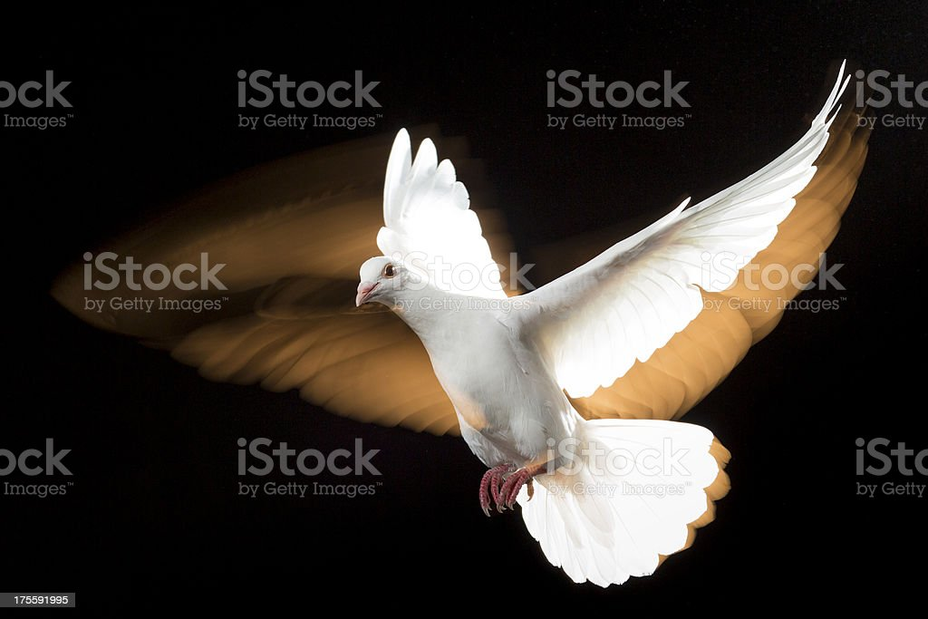 White Dove royalty-free stock photo