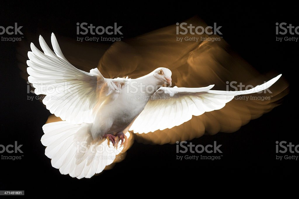 White Dove stock photo