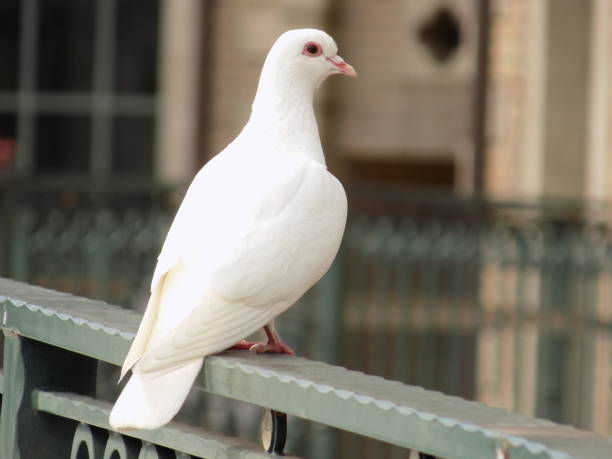 Weiße Taube Taube – Foto