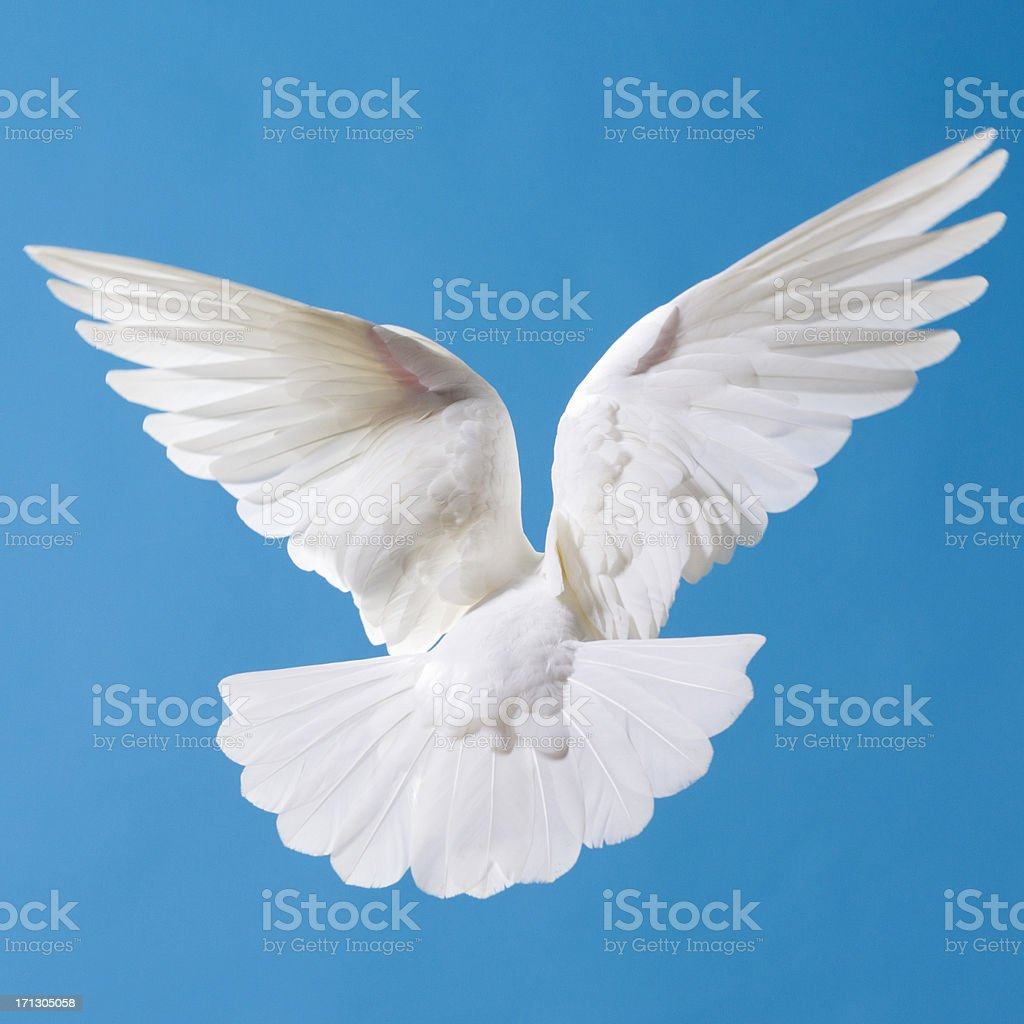 White Dove Spread Wings royalty-free stock photo