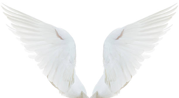 white dove spread wings - animal wing stock photos and pictures