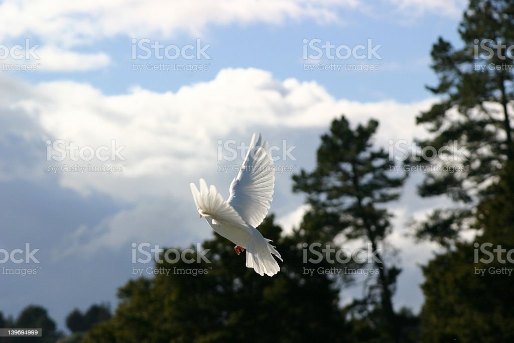 White Dove, wings outstretched royalty-free stock photo