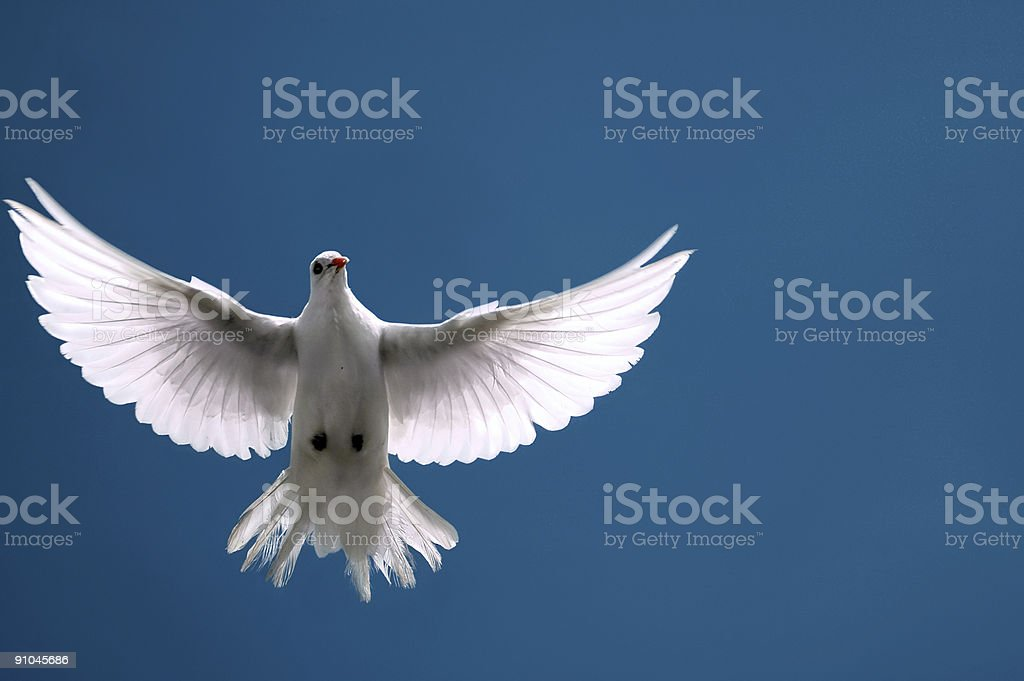 White dove with outstretched wings - flying on blue sky stock photo