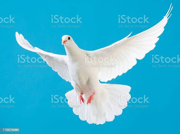 White dove with outstretched wings isolated on blue picture id175529080?b=1&k=6&m=175529080&s=612x612&h=2ycrwfnnuy4tl9cy1ooquoiedzijyrpwelvvw0qvdzu=