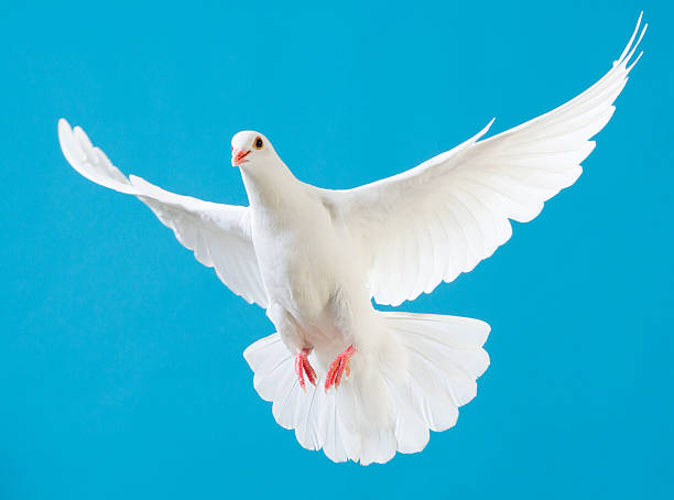 white dove with outstretched wings isolated on blue - symbols of peace stock photos and pictures