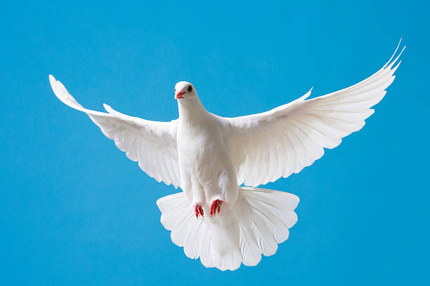 White dove with outstretched wings on blue sky Bueatiful white dove with wings outstretched flying in a clear blue sky religious symbol stock pictures, royalty-free photos & images