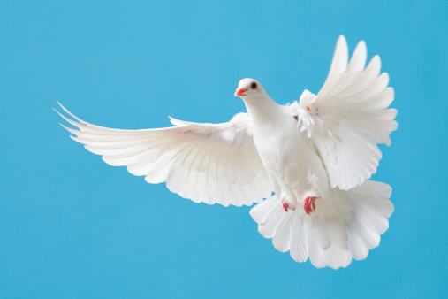 Beautiful white dove with wings outstretched flying in a clear blue sky